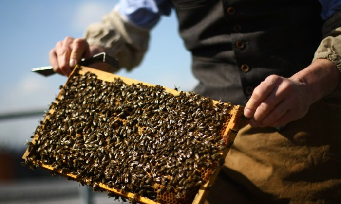 A panel of international scientists has found that the neonicotinoid class of pesticides is harming bees and the environment. (Jordan Mansfield/Getty Images)