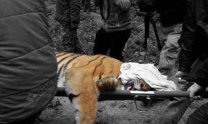 Poisoned Tiger in Tamil Nadu Raises Concerns