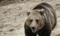 Stalking Bears in Transylvania