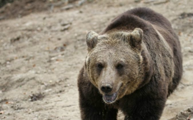 A European brown bear at the Zarnesti Libearty Bear Sanctuary. photos by Adam Eagle. (Go Nomad)