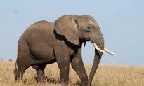 Poachers Kill Kenya's Largest Bull Elephant