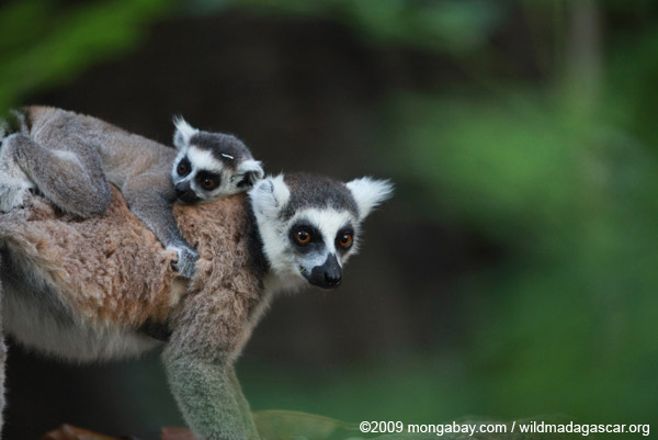 The famous ring-tailed lemur (Lemur catta) is now listed as Endangered, one of 90 lemur species currently considered threatened with extinction. (Photo by: Rhett A. Butler./news.mongabay.com)