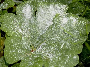 Powdery MIldew infected my pumpkins unexpectedly a few years ago. Now I have to watch for it every season.(Photo courtesy of Todd Heft)