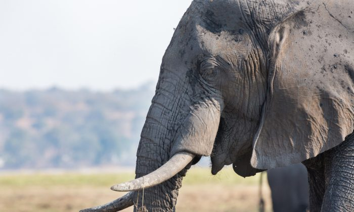 Older elephants with larger tusks are becoming rarer due to their ivory. (Shutterstock*)