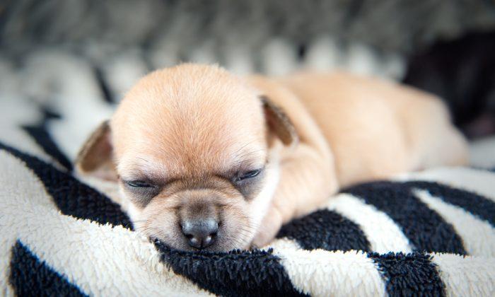 Chihuahua puppies. (*Shutterstock)