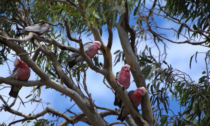 Australian Galahs birds in a Gum Tree. (*Shutterstock)