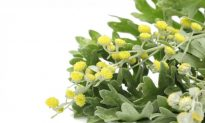 Artemisia: 2014 Herb of the Year