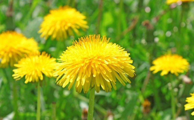 Dandelion. (Shutterstock*)