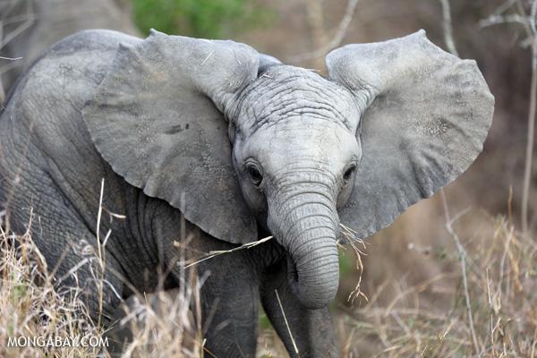 Baby elephant in South Africa. (courtesy of Mongabay.com)