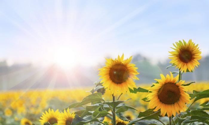 Sunflower butter is a great peanut butter replacement in cookies. (Alexander_Tarassov/thinkstock)