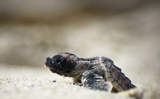 Baby turtles must make the fateful wobbly walk across the beach (A Luxury Travel Blog)