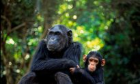 Endangered Apes Victimized by Animal Trafficking
