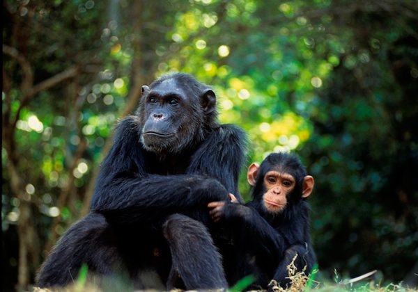 Approximately 22,200 great apes were lost in trafficking related incidents. The report estimates that every year approximately 5% of the total great ape population on Earth is lost due to trafficking. CITES aims to keep endangered great apes in the wild. (Photo courtesy of Karl Ammann)