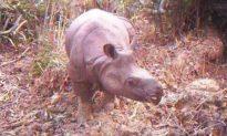 Invasive Palm Threatens Java Rhino Extinction