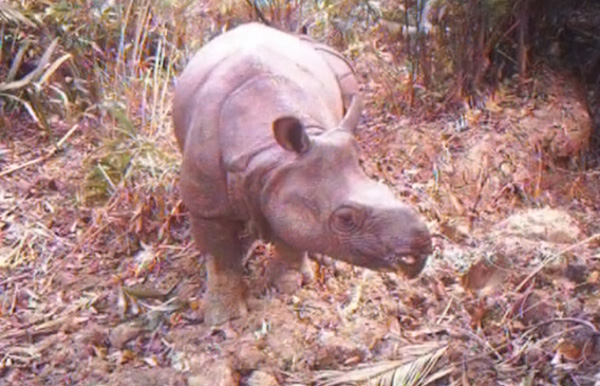 One of the last Javan rhinos captured by a camera trap in Ujung Kulon. (Video capture courtesy of Ujung Kulon National Park.)