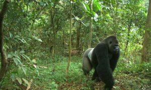 Deforestation Threatens Endangered Gorillas