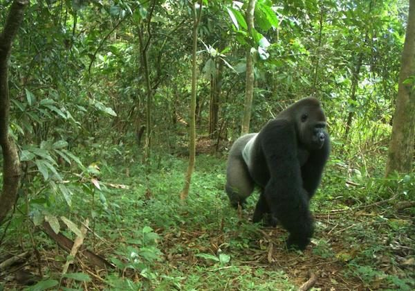 A Cross River gorilla, a distinct subspecies of which fewer than 300 still exist. (Courtesy of WCS Nigeria)