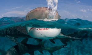 How Humans Can Really Avoid Shark Attacks and Help Protect Vulnerable Species