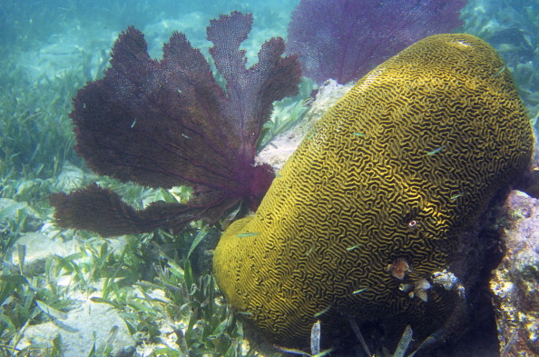 Honduras, Bay Islands, Utila Island, Brain Coral And Fan Coral. (Photo by Wolfgang Kaehler/LightRocket via Getty Images)
