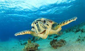 Space Tracking Reveals Turtles' Record-Breaking Ocean Swim