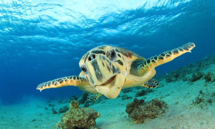 Green turtles can travel immense distances using stored fat reserves. (Shutterstock*)