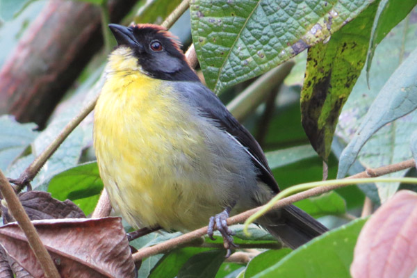 The Perijá brush-finch has only recently been considered a species in its own right. Photo by: Trevor Ellery.
