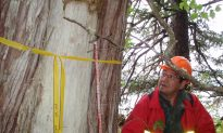 BC First Nation Works to Preserve Historically Important Trees