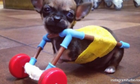 Disabled Chihuahua Gets Toy-Constructed Cart (Video)