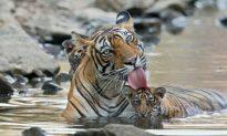 Tiger Family Cool Off at Ranthambore National Park