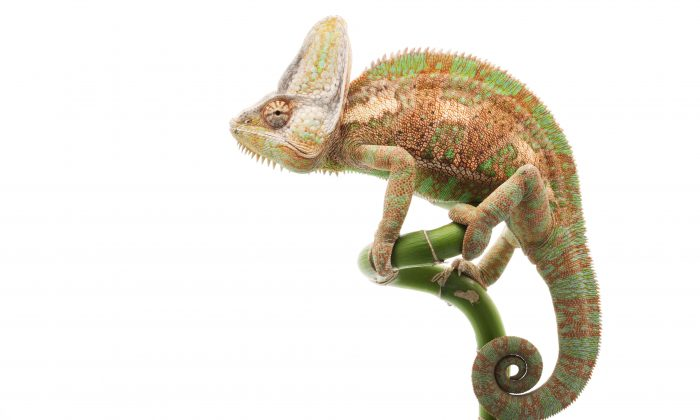 The chameleon (Chamaeleo calyptratus) is a cold-blooded animal. (Shutterstock*)