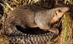 Millions of Endangered Pangolins Killed in 10 Years