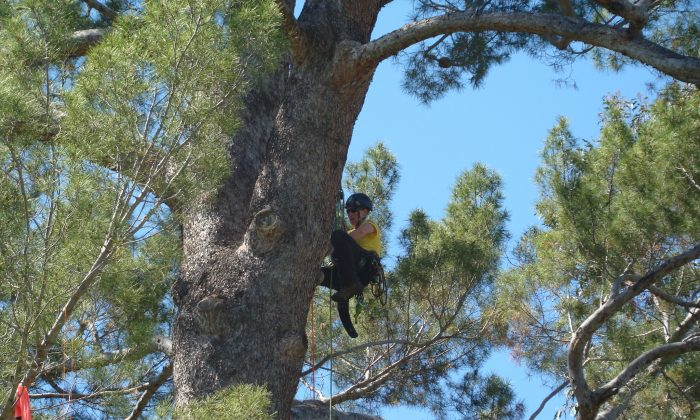 Krista Strating competes in the North American Tree Climbing Championship in Pasadena, California, in April, where she won first place in the women's division. (International Society of Arboriculture)
