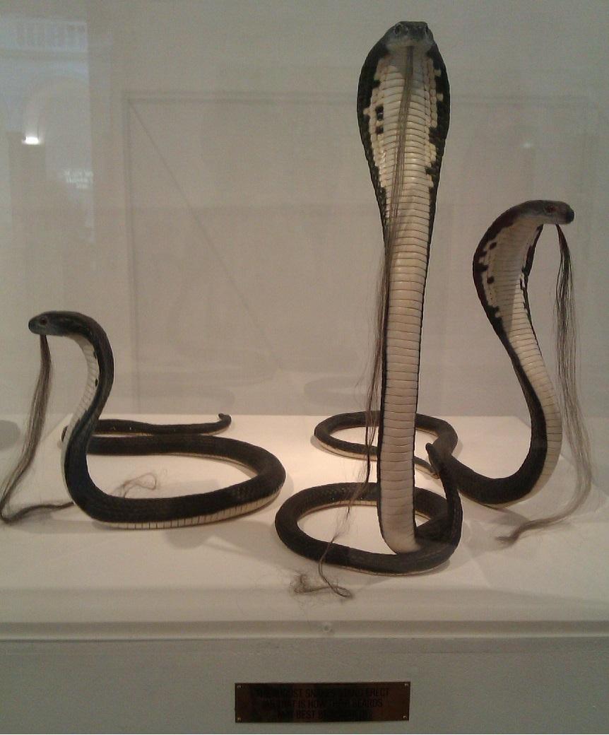 Bearded Snakes