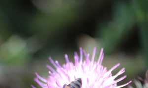 Herbicides Not Needed for Thistles in the Garden