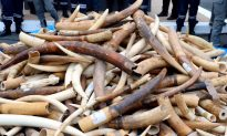 The Demand for Ivory Tusks—Deadly for Elephants