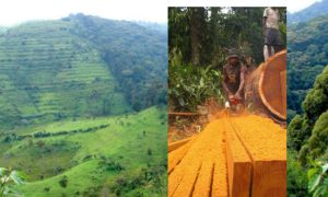 Forest Conservation and the Double-Edged Sword of Democracy