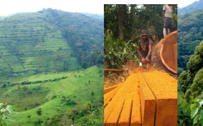 Small-scale timber cutting in Papua, Indonesia--views often differ concerning the acceptability of such activities, but do we have all the information we need? In the background is an image of the sharp boundary of the Bwindi Impenetrable National Park, Uganda. (Courtesy of Douglas Sheil)