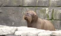 First Ever Walrus Pup Born in German Zoo Makes Its Debut (Video)