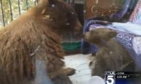 Bears Caught Eating Stolen Cocoa Krispies (Video)