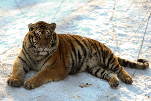 A Siberian tiger lies on the snow in its enclosure at the Siberian Tiger Park on January 6, 2014 in Harbin, China. (Photo by Lintao Zhang/Getty Images)