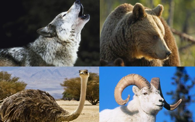 A variety of animals have adopted human children lost in the wilderness and taken care of them for years, raising them as their own. (Images of a wolf, goat, and bear via Thinkstock; Image of an ostrich via Shutterstock*)