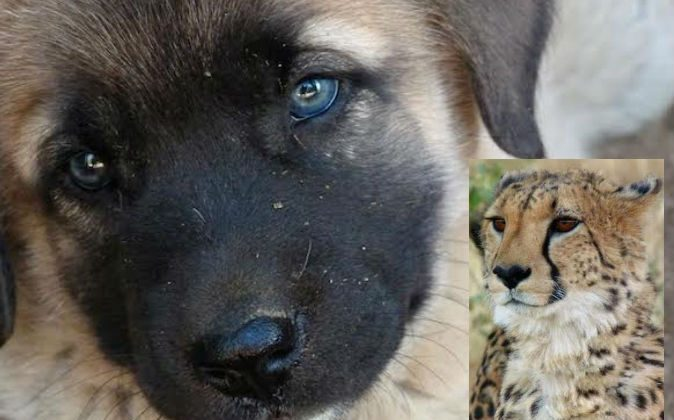 Someday, this puppy may grow up to non-violently fend off cheetahs and other predators. (Niki Rust)