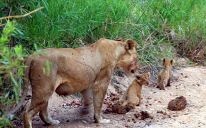 You can help to save lions in South Africa. photo by Janis Turk. (Go Nomad)