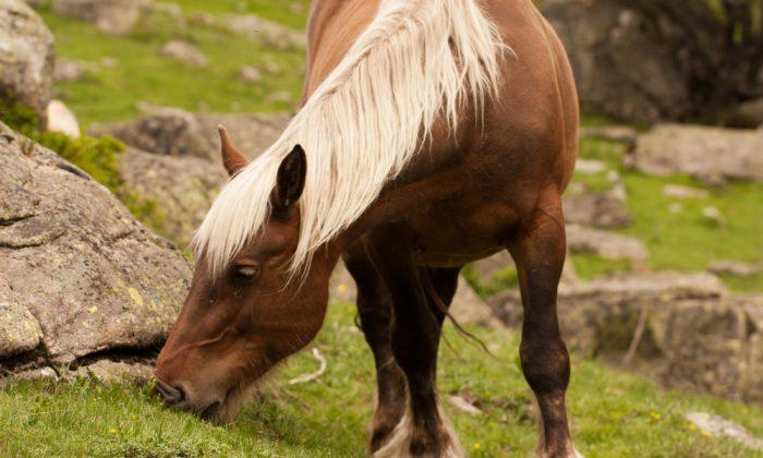 Wild Pyrenean mountain horse, Spain. (*Shutterstock)