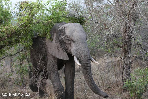 Elephant in Kruger National Park. (Photo by: Rhett A. Butler./news.mongabay.com)