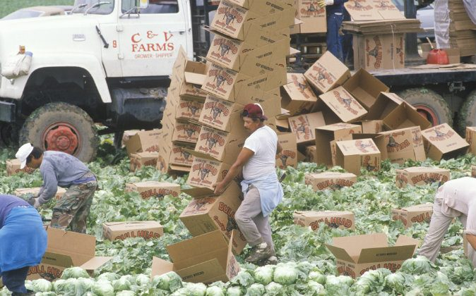 Workers harvest and box lettuce in San Joaquin Valley, Calif. (Shutterstock*)