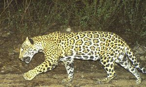 Conservation in Mexico Challenged by Jaguar Deaths