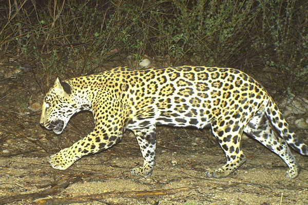 Corazón in 2006. This jaguar, living near the U.S.-Mexican border, was killed and burned in February, sparking calls for conservation reform. Photo courtesy of the Northern Jaguar Project.