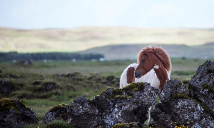 Beautiful Icelandic horse standing in a meadow on a dull. (*Shutterstock)