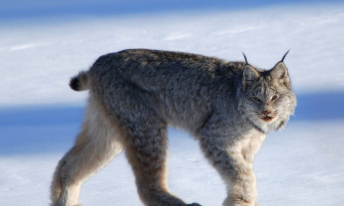 Canadian lynx. (Keith Williams/Wikimedia Commons)